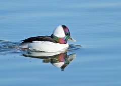 still waters (hennessy.barb) Tags: bufflehead duck bucephalaalbeola divingduck barbhennessy afloat iredescence nature wildlife reflection malebufflehead