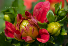 Knospe (K&S-Fotografie) Tags: flower floral outdoor park blossom bud plant summer macro beaitiful garden color nature red makro blume