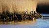 Sonnenbad...endlich :-)) (AstridSusann) Tags: sonne sonnenbad ostfriesland sonntag reiher ditzum graureiher wasser enten gras vogel