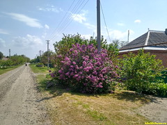 Цветет сирень в начале мая.