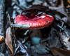 Tiny Red Mushroom (that_damn_duck) Tags: macro nature mushroom forestfloor toadstool fungus leaves
