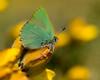 Green Hairstreak...Callophrys Rubi (trevorwilson1607) Tags: greenhairstreak callophrysrubi lepidoptera butterfly boxhill nationaltrust macro iridescentgreen stunning