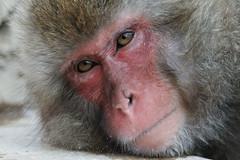 snow monkey (Macaca fuscata) (haduki99) Tags: japan nagano jigokudaniyaenkoen onsen snowmonkey