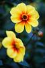Yellow Dahlia (Jens Flachmann) Tags: flower nature macro yellow dahlia e batis28135 botanicalgarden gütersloh flowering blossom