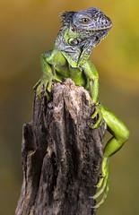 Green Iguana, CaptiveLight, Ringwood, Hampshire, UK