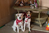 Merry Christmas and Happy New Years from the Puppies (marylea) Tags: dec25 2017 dooley maddy puppies puppy dog dogs christmas parsonrussellterrier parsonrussell terrier prt jrt jackrussellterrier jackrussell