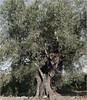 olivo en ferez (carlosjunquero) Tags: olivo ferez árbol