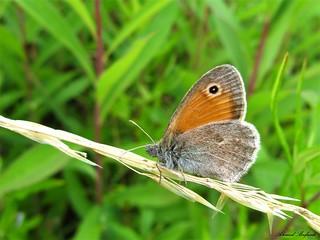 Butterfly 1547