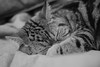 (noidcanuse2011) Tags: 貓 阿貓 cat bw blackwhite 600mmf28 nikon nikkor