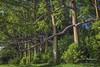 Rainbow Eucalyptus Tree - Eucalyptus deglupta (Freshairphotography) Tags: rainboweucalyptustree eucalyptusdeglupta eucalyptustree trees maui mauihawaii ilovemaui unique interesting colorful hawaii amazing beautiful forest grove naturesart