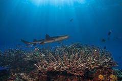 White tip reef shark (Monique Elferink) Tags: 2017 febrina png papuanewguinea shark diving sea ocean