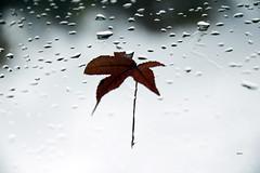 my soul's edges (ByotA .... OFF) Tags: fall rain drops life leaf sky clouds tears eye oneeye soul edges music omar byota pain journey canoneosrebelt6i 2017 classic antoniovivaldi