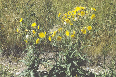 Weeds13.tif (NRCS Montana) Tags: weeds noxious thistle sowthistle