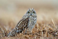 Shortie in bean field (Earl Reinink) Tags: raptor bird animal hawk owl winter macro outdoors snow nature earl reinink earlreinink shortearedowl uzoduutdha