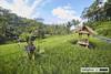 Gunung Kawi Rice Paddy (Sailingstone Travel) Tags: ubud bali indonesia gunung kawi tampaksiring temple rice paddy