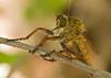 F58318-Robber Fly (f) (Engelepogon cf. goedli) (DJHiker) Tags: gr insect fly robber roofvlieg diptera greece