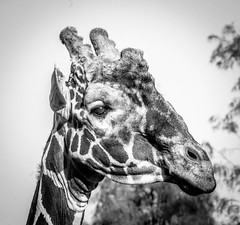 Not just a pretty face (raylincoln1) Tags: sony a65 giraffe audubon zoo new orleans