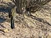 Well Camouflaged Road Runner-18 (Chic Bee) Tags: camouflage shadow roadrunner bird sabinocanyon nature naturewalk catalinamountains tucson arizona southwesternusa americansouthwest america interesting