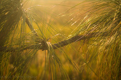 Golden Pines (tshabazzphotography) Tags: pine needles tree golden sunny glow outdoors sunrise bokeh primelens explore lakerunnymede kissimmee florida canon closeup 35mm f20 sun orange mornings