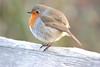 Dreamy robin (ekaterina alexander) Tags: dreamy robin european bird erithacus rubecula ekaterina alexander winter nature photography england sussex pictures ngc
