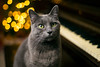 Piano Cat (Bailey the cool one) Tags: piano cat russian blue kitty nikon nikkor 50mm f18 ais christmas bokeh