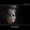 BASHIRA (Matthias Besant) Tags: affe affen affenfell animal animals ape apes pygmychimpanzee fell zwergschimpanse hominidae hominoidea mammal mammals menschenaffen menschenartig menschenartige monkey monkeys primat primaten saeugetier saeugetiere tier tiere trockennasenaffe bonobo schauen blick blicken augen eyes look looking bashira zoo zoofrankfurt matthiasbesant hessen deutschland