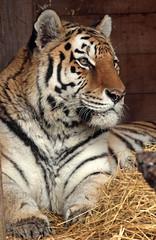 amurtiger Colinda Ouwehands BB2A8022 (j.a.kok) Tags: tiger siberischetijger siberiantiger amurtiger amoertijger pantheratigrisaltaica animal kat cat mammal zoogdier dier asia azie ouwehands colinda predator