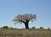 High On A Hill in Mozambique (The Spirit of the World ( On and Off)) Tags: mozambique africa tree landscape baobab upsidedowntree treeoflife hillside nature eastafrica quirinthepeninsula