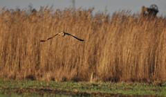 Hibou des marais - Short-Eared Owl (Asio flammeus) (Ziza !) Tags: oiseau bird hibou hiboudesmarais shortearedowl asioflammeus rapace