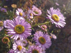 Posies (RZ68) Tags: flowers lavender pink small winter garden aster dew morning closeup macro lg lgg6