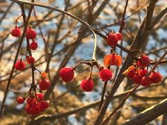 Winter berries Explored 12.28.17 (saudades1000) Tags: winter berries winterberries nature