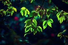 Tangled (Carrie McGann) Tags: leaves flowers camellia berries bokeh blue green red pink 121517 nikon nikond850 interesting