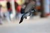 Pomba (Carlos Santos - Alapraia) Tags: ngc ourplanet animalplanet canon nature natureza wonderfulworld highqualityanimals unlimitedphotos fantasticnature birdwatcher pomba ave bird pássaro