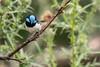 Superb fairy wren (crispy1612) Tags: superbfairywren nikond500 nikon 200500 f56 chiltern mount pilot national park birdlife bartleys block