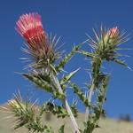 Botanical fireworks! Arizona thistle, Cirsium arizonicum var. arizonicum, flowering head in the sky thumbnail