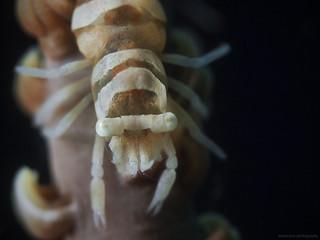 Anker`s Whip Coral Shrimp (Pontonides ankeri)