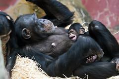 Schimpansenbaby (Michael Döring) Tags: gelsenkirchen bismarck zoomerlebniswelt zoo schimpanse chimpansee iuvenil afs105mm14e d850 michaeldöring