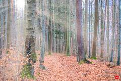 Waldfarben (Jan Čmárik) Tags: 6dii cmarik canon cmrk eos forrest trees bäume sonne sun winter herbst blätter fallen leaves outdoor