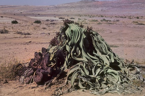 Welwitchia mirabilis,Tweeblaarkanniedood in Afrikaans, Big Daddy, Goanikontes, Swakob River, Namibia,WM.