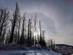 Solar halo, ice glazed cottonwoods (Dru!) Tags: halo sun winter ice tree cottonwood freezingrain icestorm fraserriver sumasmountain bc britishcolumbia canada chilliwack fraservalley island22