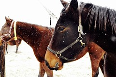 side eye (Kate ENK) Tags: horse winter snow flakes chocolate brown rich white fluff gorgeous cute