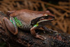 Green thighed frog (Nyctimystes [Litoria] brevipalmata) (Nathan Litjens) Tags: litjens nsw nathan nyctimystes watagans wattagans brevipalmata frog green litoria thighed