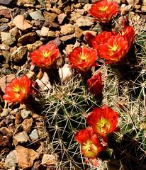 Claret Cup Cactus Blooms (ksblack99) Tags: claretcup cactus flower desertbotanicalgarden phoenix arizona echinocereustriglochidiatus