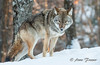 Eastern Coyote (Anne Marie Fraser) Tags: coyote eastern easterncoyote snow animal nature parcomega canada forest winter