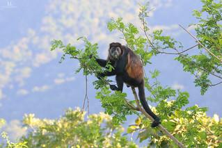 Howler monkeys - Singe hurleur - Alouatta