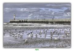 FEAR OF FLIGHT (régisa) Tags: nieuwpoort westvlaanderen belgique belgië estran beach plage jetée strand nieuport noordzee kust pier deadcandance havenlicht staketsel