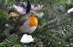 DSC 2150 Rotkehlchen - Robin (Charli 49) Tags: charli nature naturfotografie garten winter tier vogel animal bird rotkehlchen robin