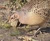 Pheasant - female (MJ Harbey) Tags: bird pheasant femalepheasant phasianuscolchicus collegelake berksbucksoxonwildlifetrust thewildlifetrust nikon d3300 nikond3300 wood grass leaves tring buckinghamshire wildbird