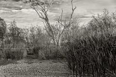 impressions of lagoon creek (Fat Burns ☮) Tags: landscape drybreekbed creek lagooncreek barcaldine queensland australia nikond800 nikon2401200mmf40 bw blackandwhite b aclwhite sepia