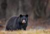 Black Bear (Bill Wakeley Imagery) Tags: bear blackbear connecticut newengland wildlife